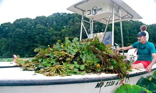 Invasive Species- Water chestnut is an invasive plant that was first spotted in the region in 1923. Volunteer work to remove the floating plant by hand has been integral in keeping populations in check on Maryland's Bird and Sassafrass rivers.