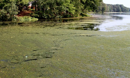 Nutrients- Nutrient pollution fuels the growth of algae blooms that block sunlight from reaching bay grasses and rob the water of oxygen. (Chesapeake Bay Program)