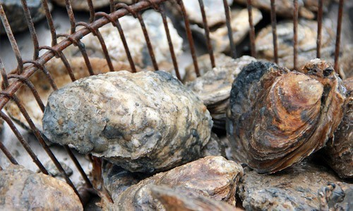 Oysters are natural filter feeders: as they pump water through their gills, they trap particles of food as well as nutrients, suspended sediments and chemical contaminants. In doing so, oysters help keep the water clean and clear for aquatic life.