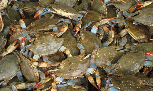 Blue Crabs- More than one-third of the nation's blue crab catch comes from the Chesapeake Bay. (Tuaussi/Flickr)