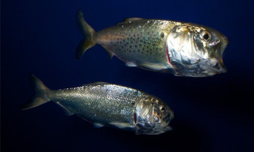 Atlantic menhaden form an important link in the Chesapeake Bay food web. The small fish is harvested commercially for bait and for an industry that uses them to produce fishmeal and fish oil. (brian.gratwicke/Flickr)