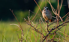 Restoration Spotlight: Chino Farms brings back the bobwhite quail