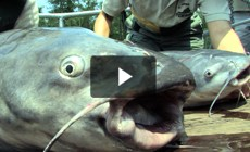 From the Field: Monitoring Blue Catfish in Virginia's James River