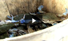 Bay 101: Blue Crabs