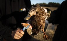 From the Field: Conserving Habitat for American Black Ducks