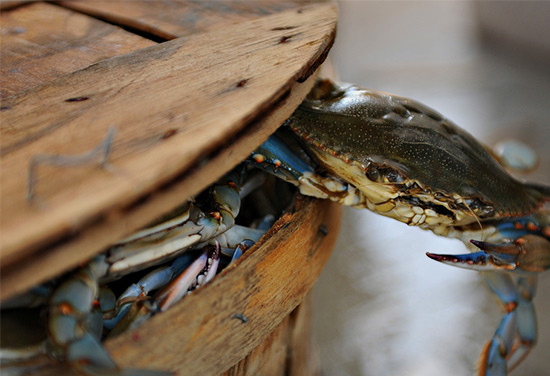 chesapeake bay s blue crab The chesapeake bay the blue crab's biological pedi-gree eighty percent of all animal species on earth, including blue crabs, spi-ders, and in-sects, belong to  blue crabs in the chesapeake page 3 carapace the shell covering the body that pro-vides rigidity and protective covering it is made.