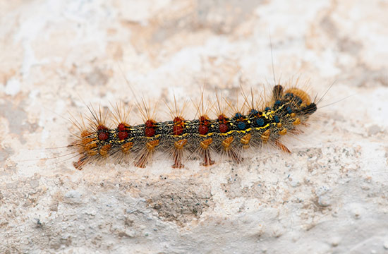 the european gypsy moth threat in chesapeake bay From our early files kent county news  of agriculture if it would contribute to a county-administered gypsy moth spraying program  record-breaking resurgence in the chesapeake bay area.