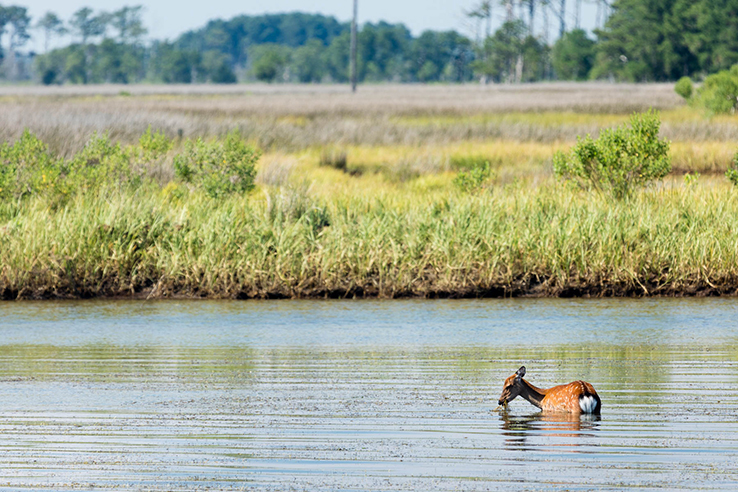 Picture of Photo of the Week: Sika deer quietly encroach on Chesapeake's Eastern Shore