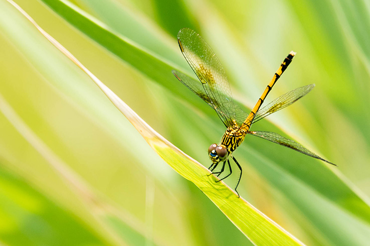Picture of Photo of the Week: Salt marshes provide playgrounds for seaside dragonlets