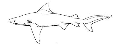 Are There Sharks In The Chesapeake Bay Chesapeake Bay