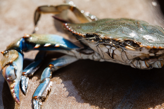 the economic impact of callinectes sapidus on the american market Abstract the harvest of blue crabs callinectes sapidus in chesapeake bay declined 46% between 1993 and 2001 and remained low through 2008 because the total market value of this fishery has declined by an average of us $ 33 million per year since 1993, the commercial fishery has been challenged to maintain profitability.