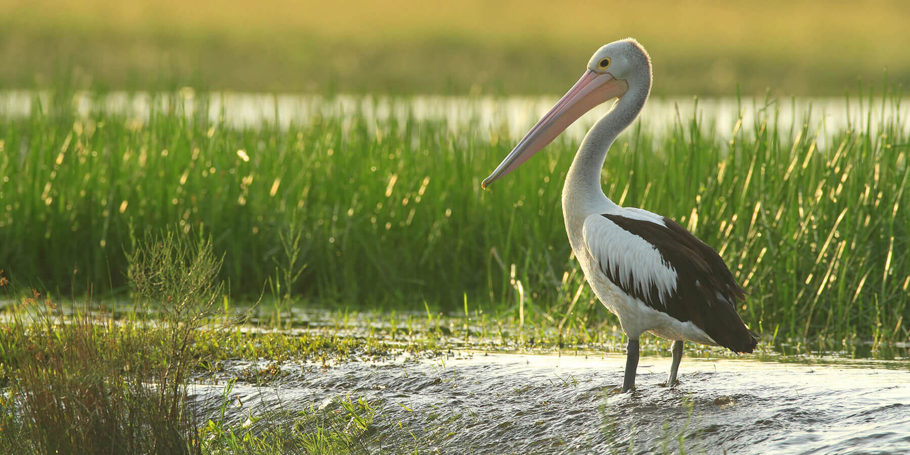 Picture of a pelican