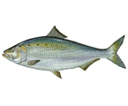 Was fast Striped drum fish websites that