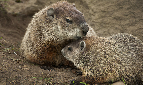 Woodchucks breed once per year, and can have between two and six young. (Image credit: Brookhaven National Laboratory/Flickr)