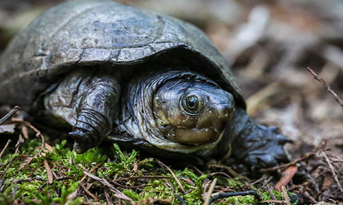 Eastern mud turtles are typically found in the shallow waters of wetlands and marshes but are known to often wander away from water. (Image by Dave Huth/Flickr)