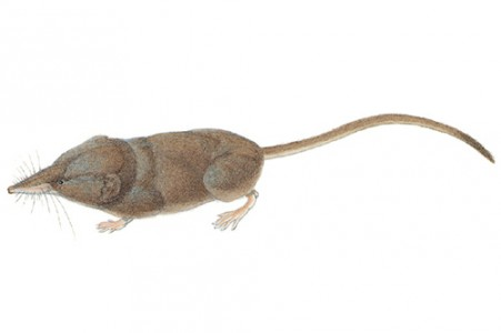 The long-tailed shrew has a slender body, long snout, small eyes and a long, thick tail. (Image by Nancy Halliday/Princeton University Press)