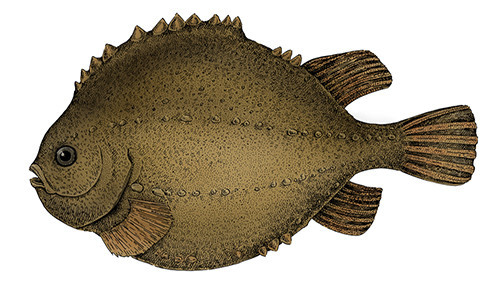 "The lumpfish gets its scientific name <em>Cyclopterus</em> from the Green <em>kyklos</em>, meaning ""round,"" and <em>pteron</em>, meaning ""fin."" (Image credit: Solveig/Shutterstock)"