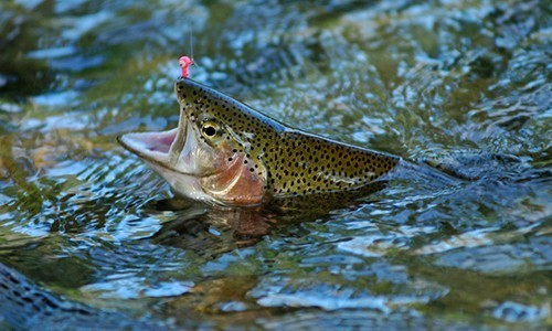 The rainbow trout is a very popular sport fish, introduced in many streams outside of its native region, the Pacific Coast of North America (Erik Meldrum/Flickr).