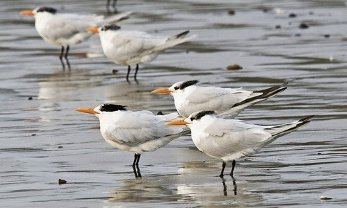 Royal terns can be found on tropical and subtropical coasts, sandy beaches, lagoons and estuaries. (Image by Mike Baird/Flickr)