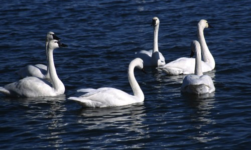 The native tundra swan can be distinguished from an invasive mute swan by its black bill and straight neck.