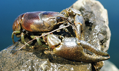 The claws of the rusty crayfish are smooth, large and range in color from grayish-green to reddish-brown. (Image by Wisconsin Department of Natural Resources/Flickr)