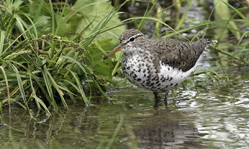 During the breeding season, the spotted sandpiper's breast is covered in dark spots. (Image: Kelly Colgan Azar, Flickr)