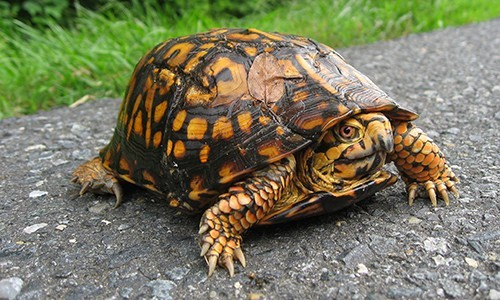 Eastern box turtles have a tall, domed upper shell, giving them a boxy shape. (National Park Service/Flickr)