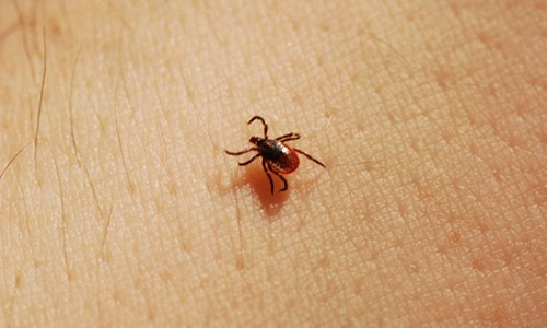 Adult female deer ticks will feed on humans in spring and summer before they lay their eggs, though their preferred host is the white-tailed deer. (Joshua Mayer/Flickr)