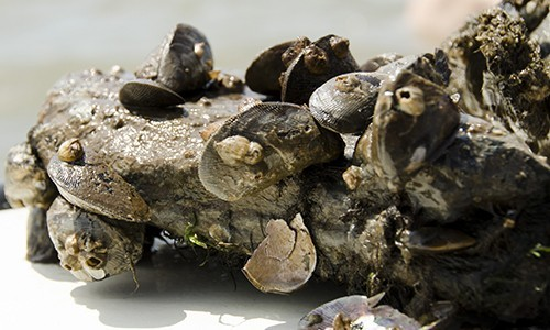 The hooked mussel, also called a bent or curved mussel, has a ridged shell with a distinct hook on the front end. A common inhabitant of oyster reefs, it is often found