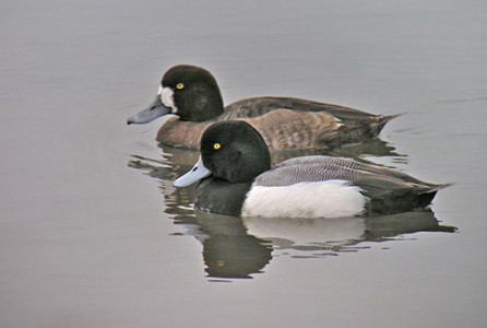 The greater scaup is a medium-sized diving duck, averaging between 15.4 and 22 inches in length.