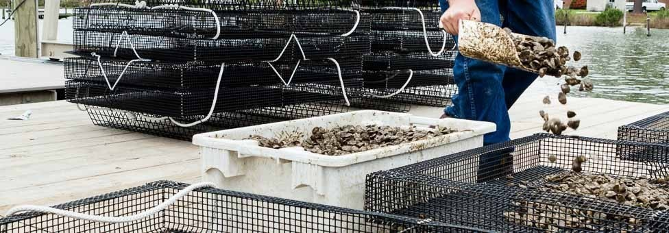 From reef to cage: The future of oyster aquaculture