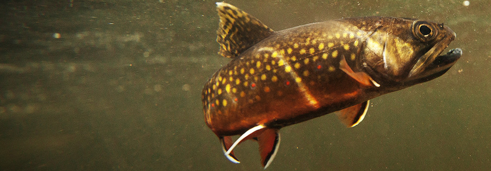 From forest buffers to brook trout
