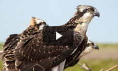 Bay 101: Ospreys